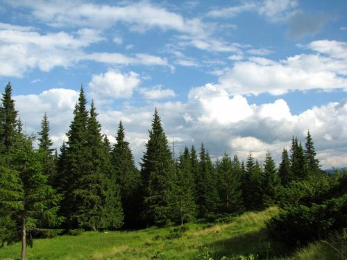 coniferous forest in carpathian mountains ukraine travel